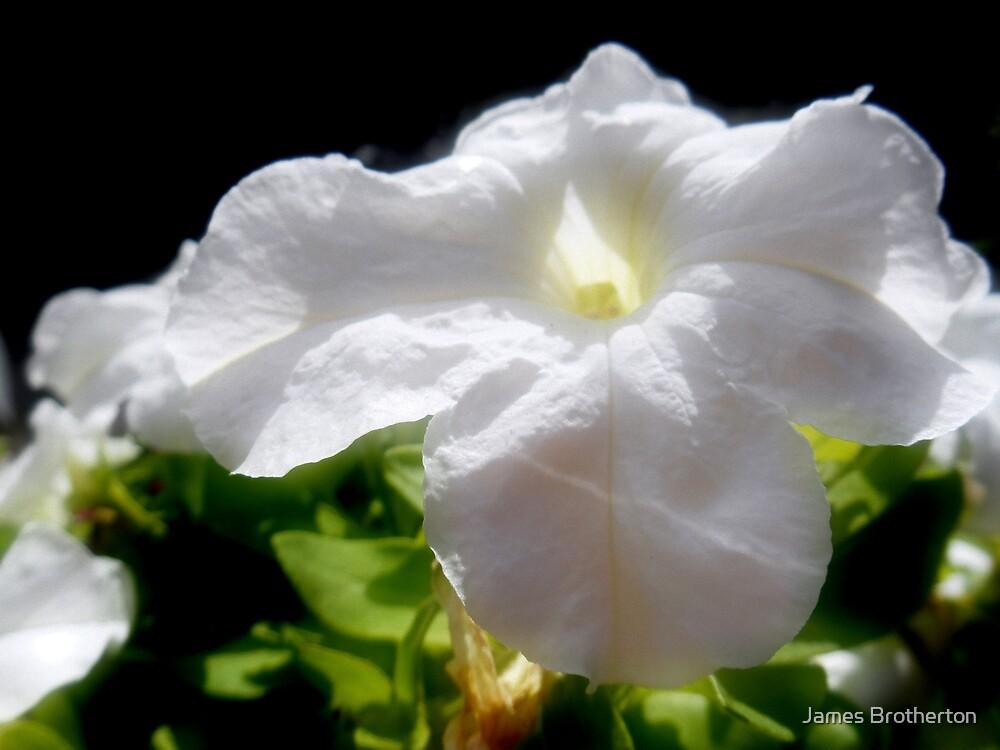 White Petunia by James Brotherton