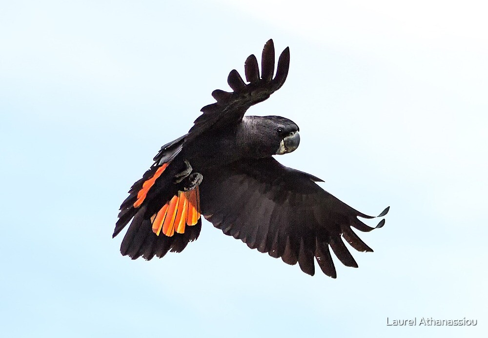 Red Tailed Black Cockatoo by Laurel Athanassiou
