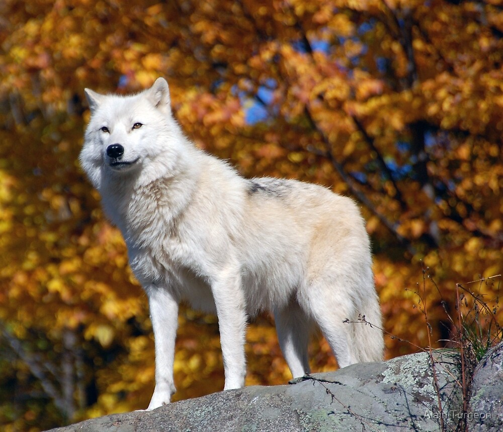 Arctic Wolf by Alain Turgeon
