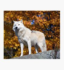 Loup Arctique Photographic Print
