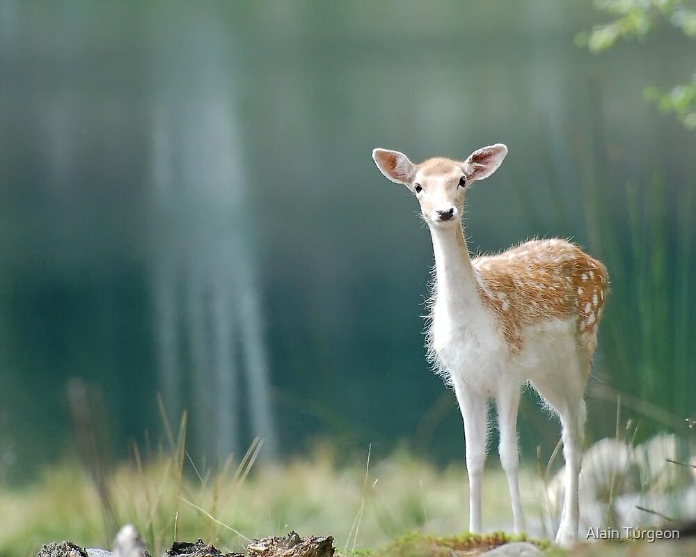Fallow Deer by Alain Turgeon