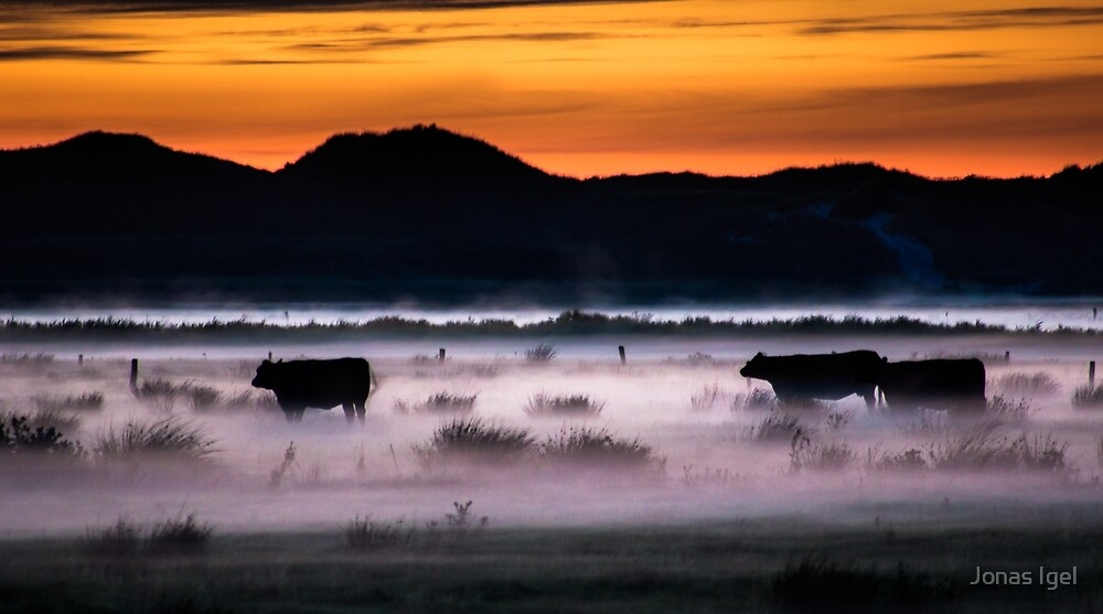 Cows enjoying the sunset by Imagericius