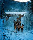 elk herd moving South  by Yukondick