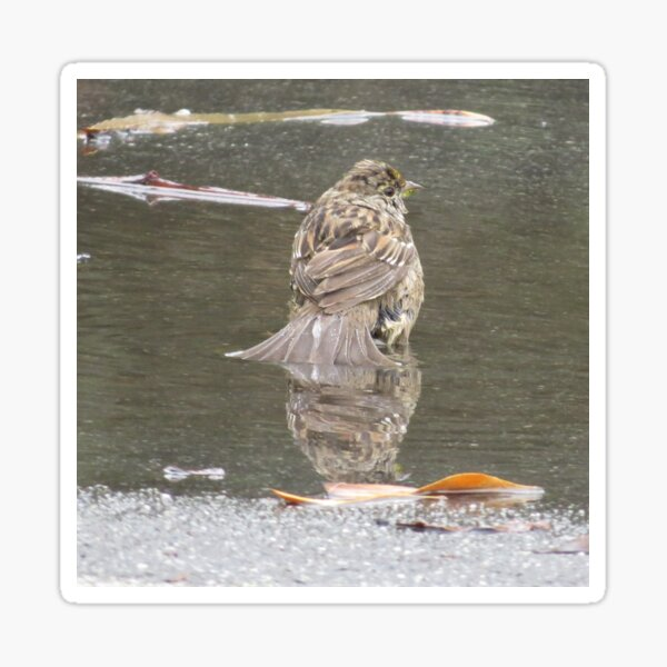 Golden Crowned Sparrow Taking a Bird Bath  Sticker