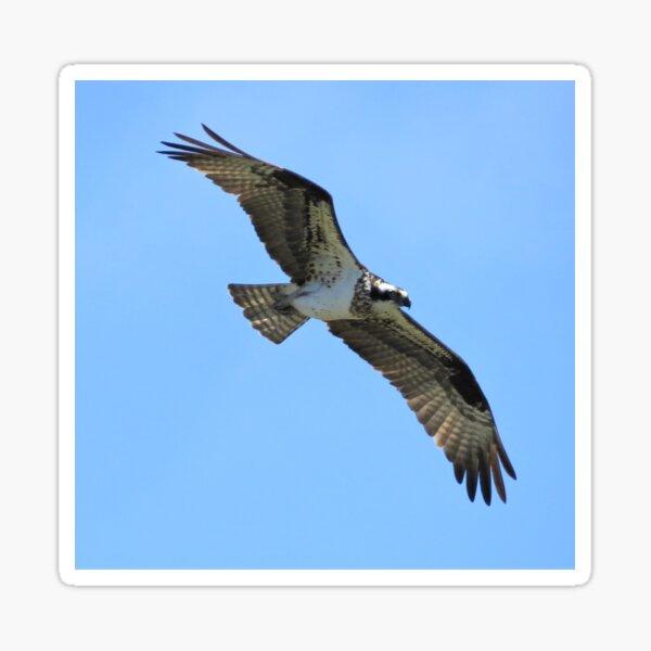 Osprey in Flight Sticker