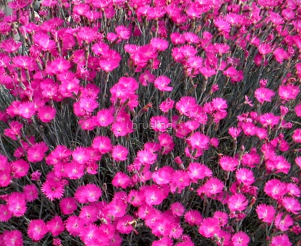 Field of Pinks by brusling