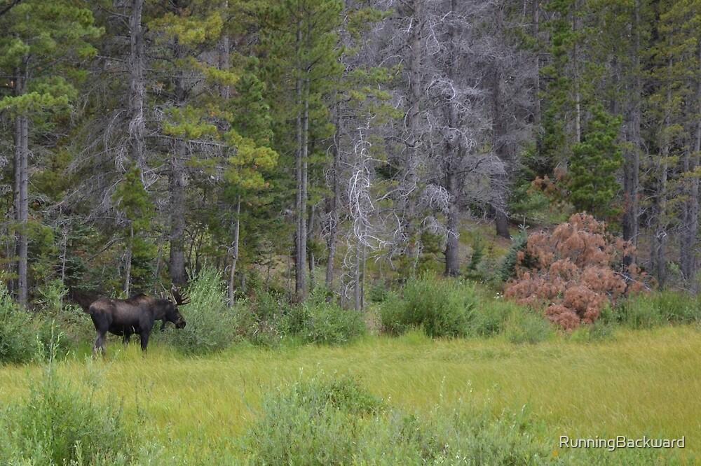 Hungry moose by Amanda Huggins
