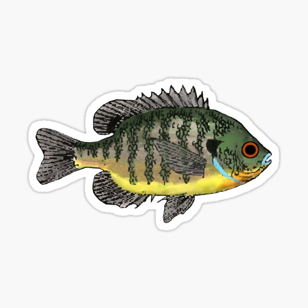 Bluegill Sunfish Sticker