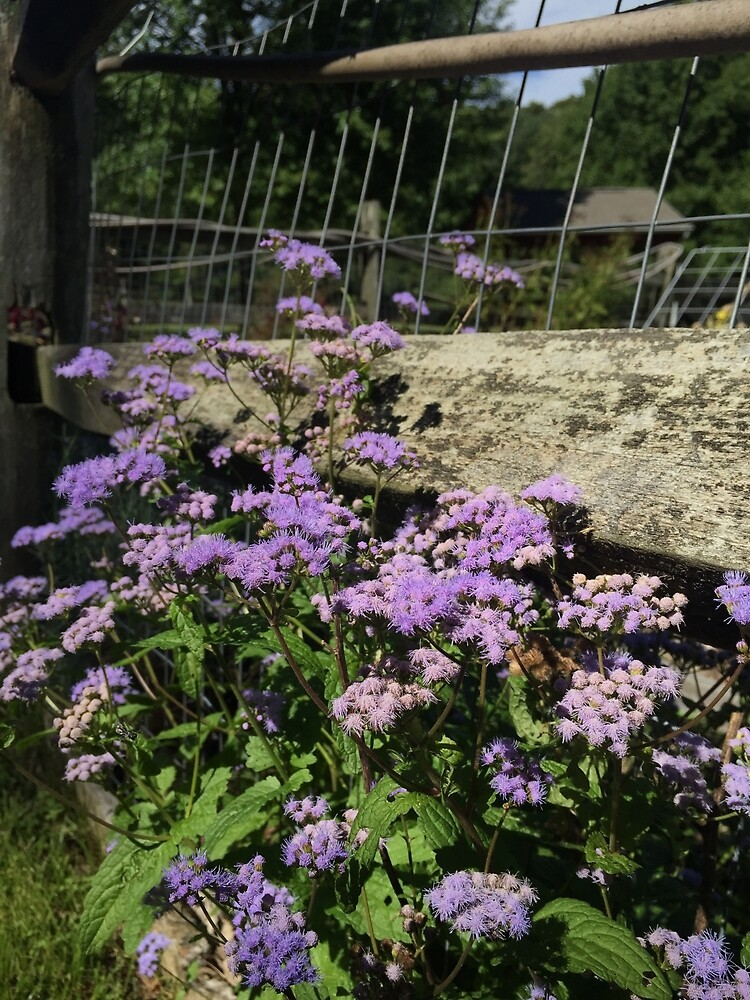 Ageratum  by TarnishedPearl