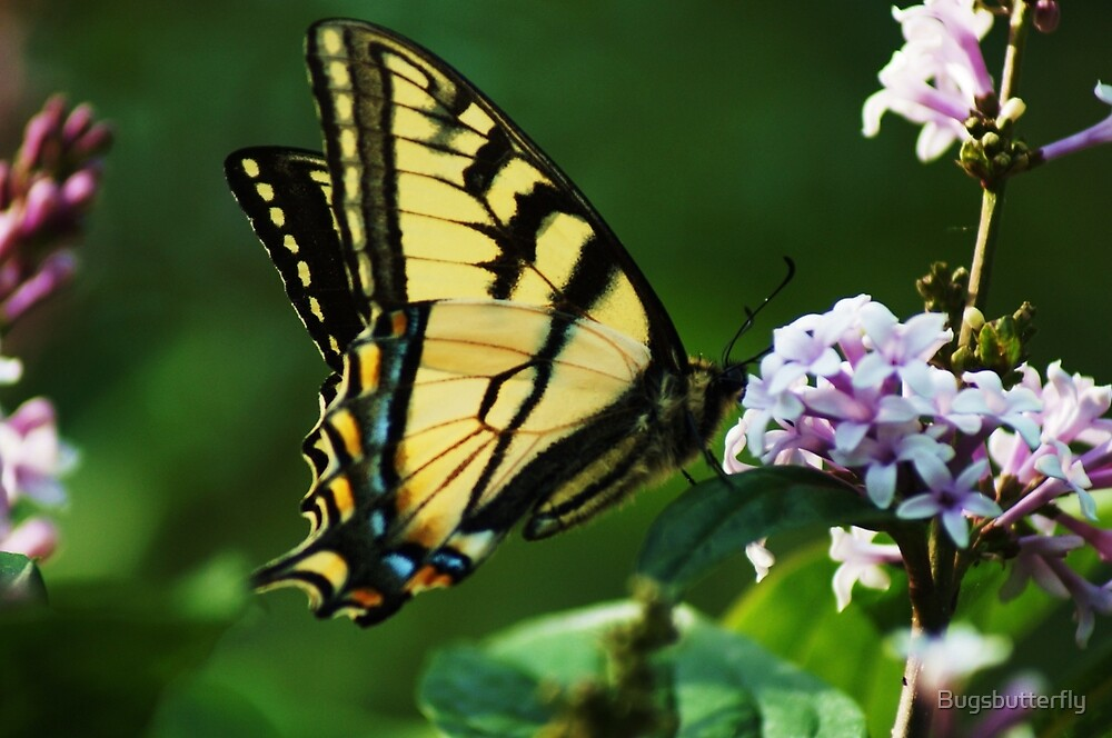 Swallowtail Butterfly  by Bugsbutterfly