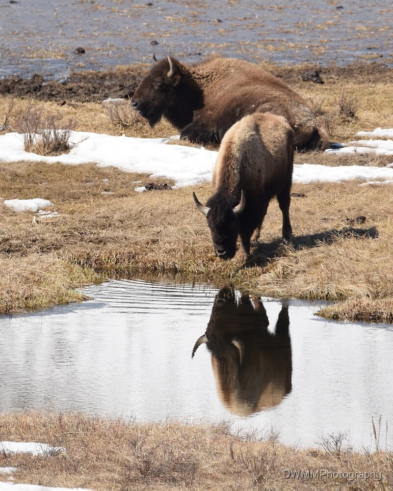 The Bison in the Pond by DWMMPhotography
