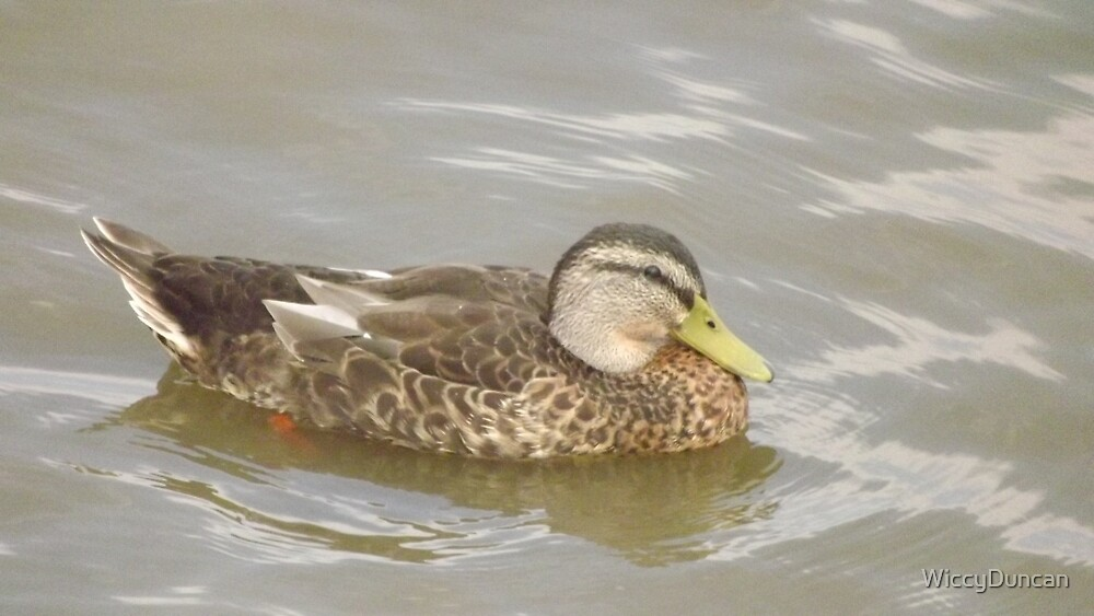 Duck by WiccyDuncan