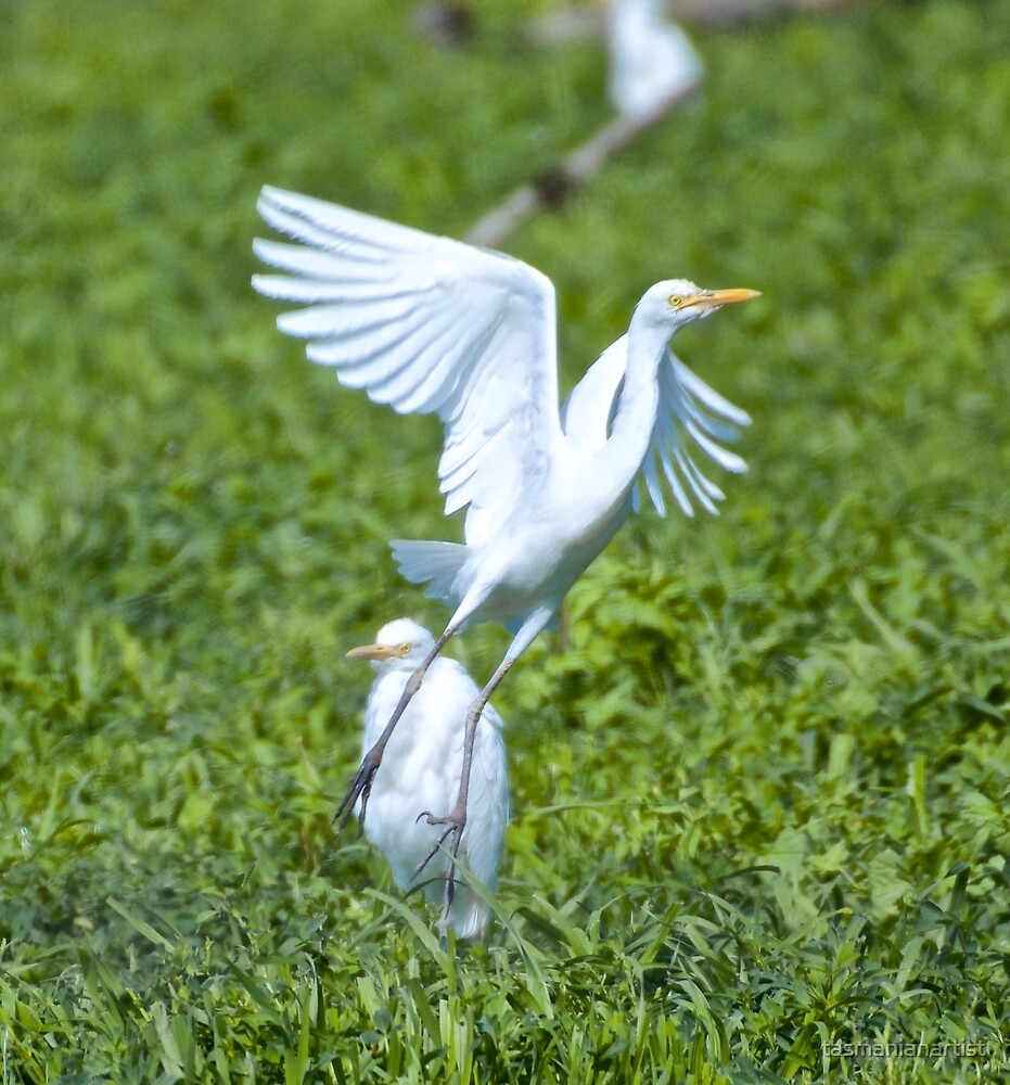 WADER ~ Cattle Egret by David Irwin by tasmanianartist