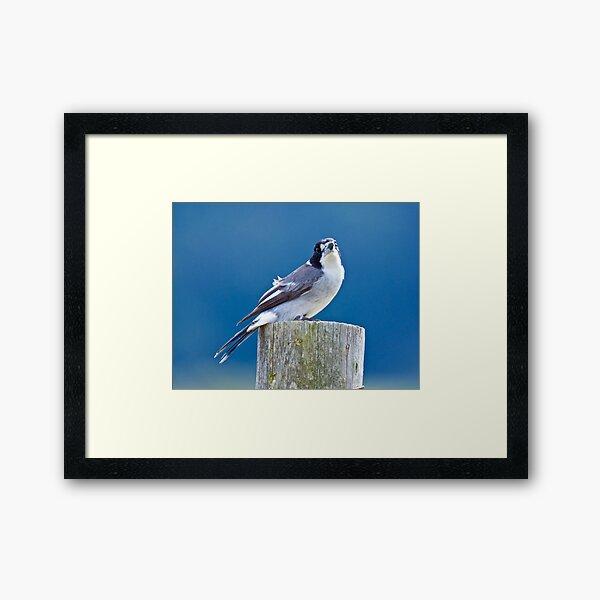 ARTAMIDAE ~ Grey Butcherbird by David Irwin ~ WO Framed Art Print