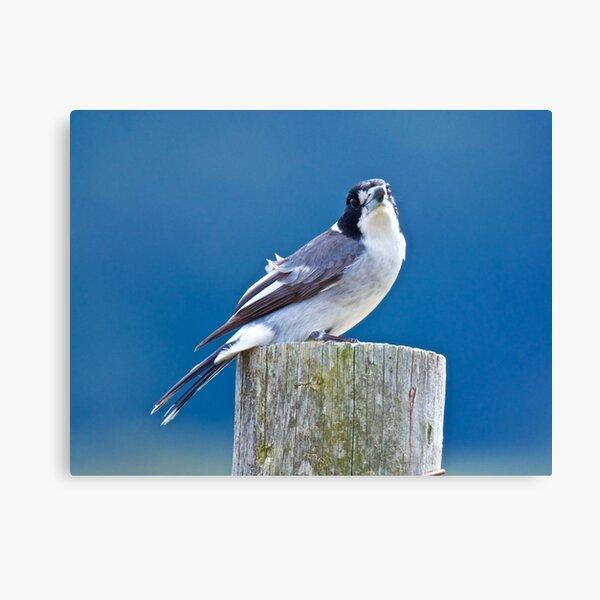 ARTAMIDAE ~ Grey Butcherbird WDGTC5F8 by David Irwin ~ WO Canvas Print
