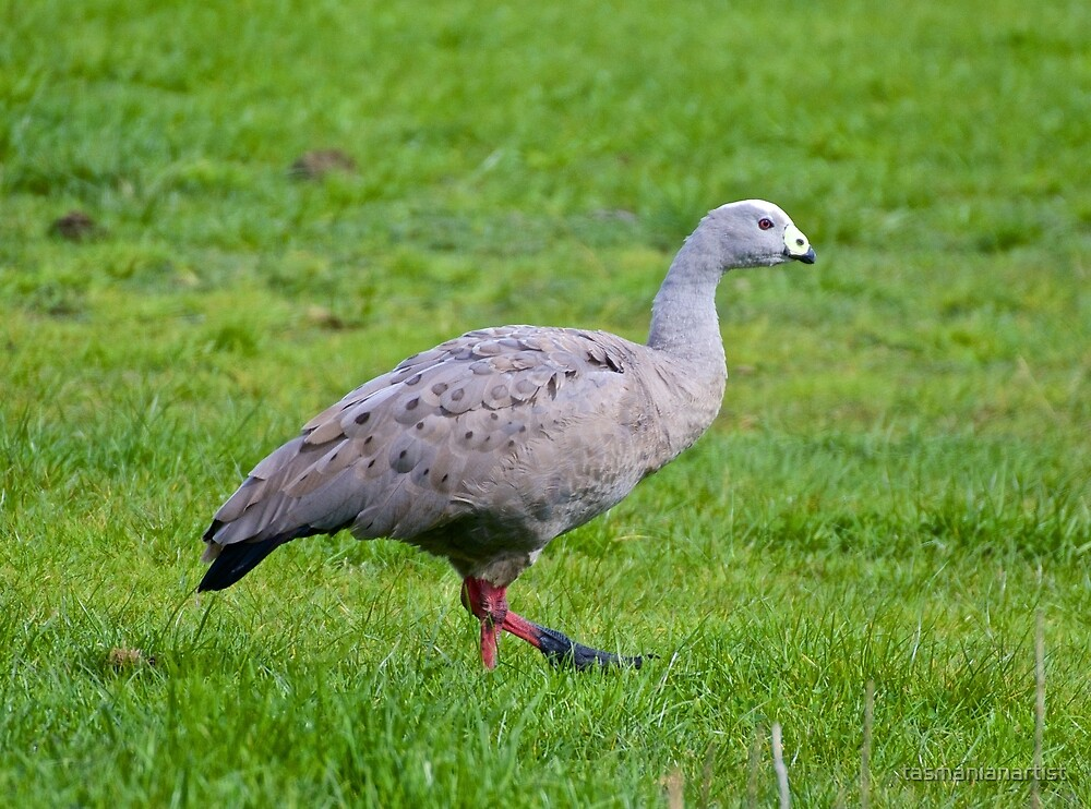 WATERFOWL ~ Cape Barren Goose by David Irwin by tasmanianartist