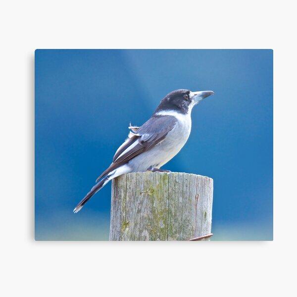ARTAMIDAE ~ Grey Butcherbird 53QXXVJL by David Irwin Metal Print