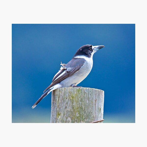 ARTAMIDAE ~ Grey Butcherbird by David Irwin Photographic Print