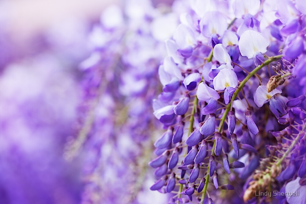 Wisteria Dreaming by Lindy Sherwell
