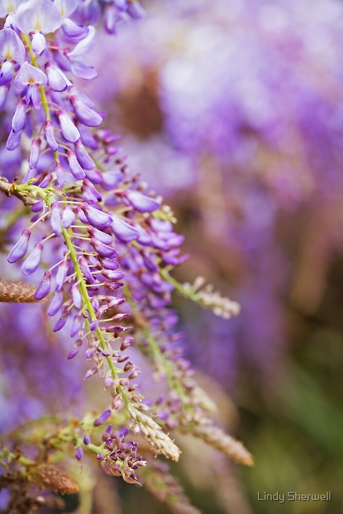 Wisteria Whimsey by Lindy Sherwell