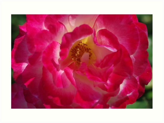 A Rosy Glow - 'Double Delight' Rose by rvjames