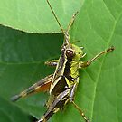 Grasshopper by Evelyn Laeschke