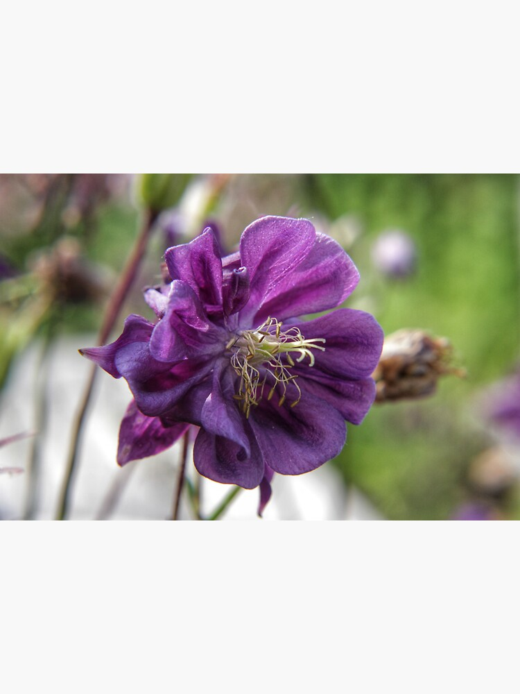 Summer meadow purple Aquilegia flower by hoxtonboy
