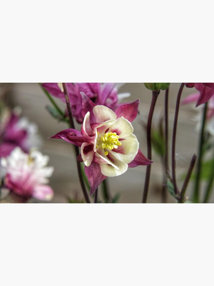 Summer meadow dark red/white Aquilegia flower by hoxtonboy