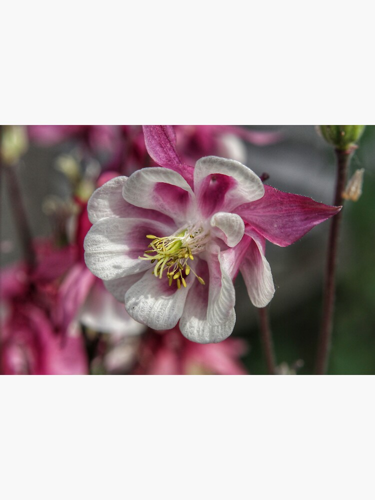 Summer meadow pink/white Aquilegia flower by hoxtonboy