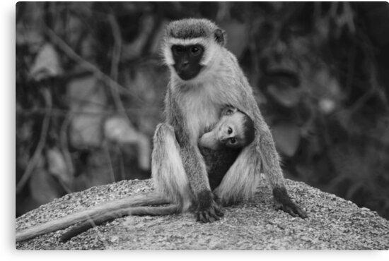 Vervet monkey with baby by Jenna-Grieve