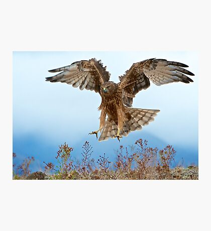Wild NZ Kahu Hawk attack Photographic Print