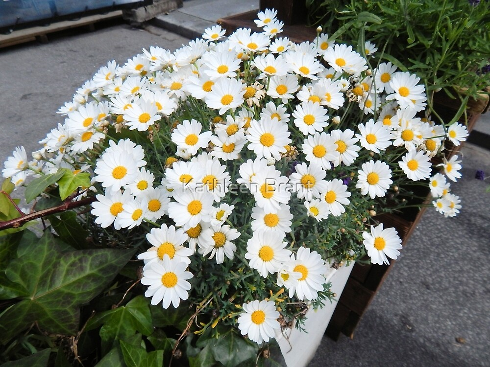 White Daisies for Sale by Kathleen Brant