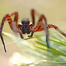 raft spider by Hannele Luhtasela-el Showk
