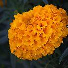 Orange Flowers by samsheff