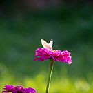 Butterfly by samsheff