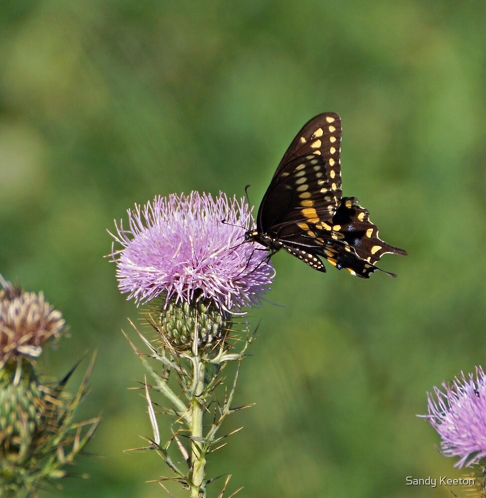 Black Swallowtail Butterfly by Sandy Keeton