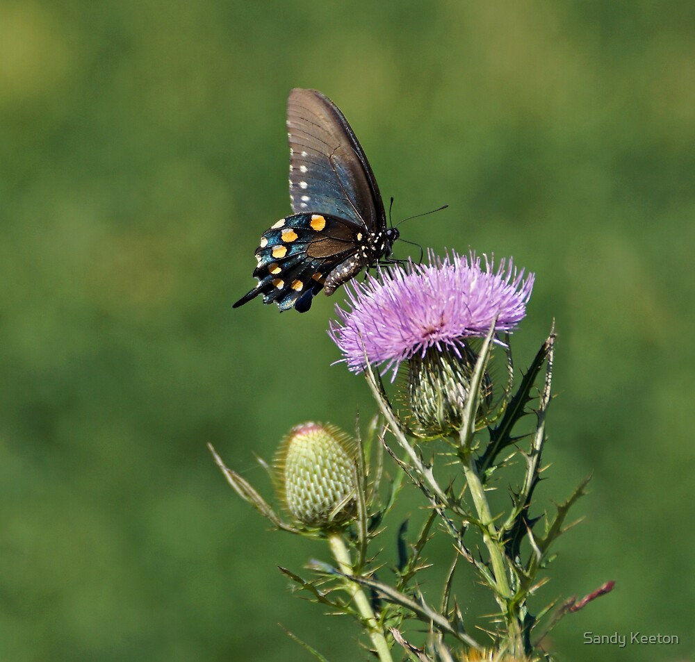 Pipevine Swallowtail Butterfly by Sandy Keeton