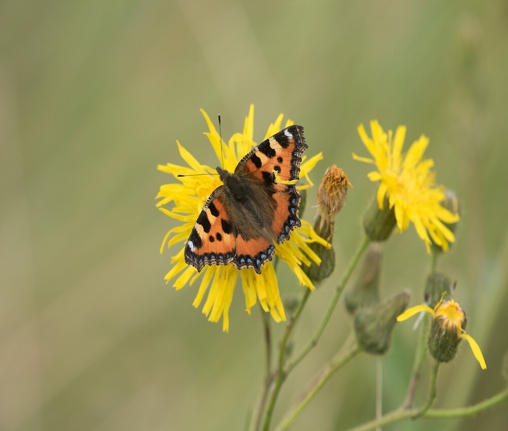 Small Tortoiseshell (Aglais urticae) on a Dandelion by Chris Monks