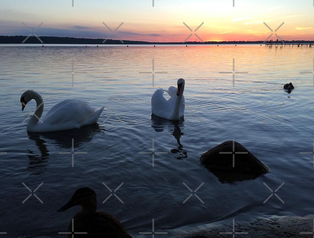 Sunset & Swans by Hekla Hekla