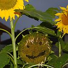 Sunflowers birds food station by Declan Carr