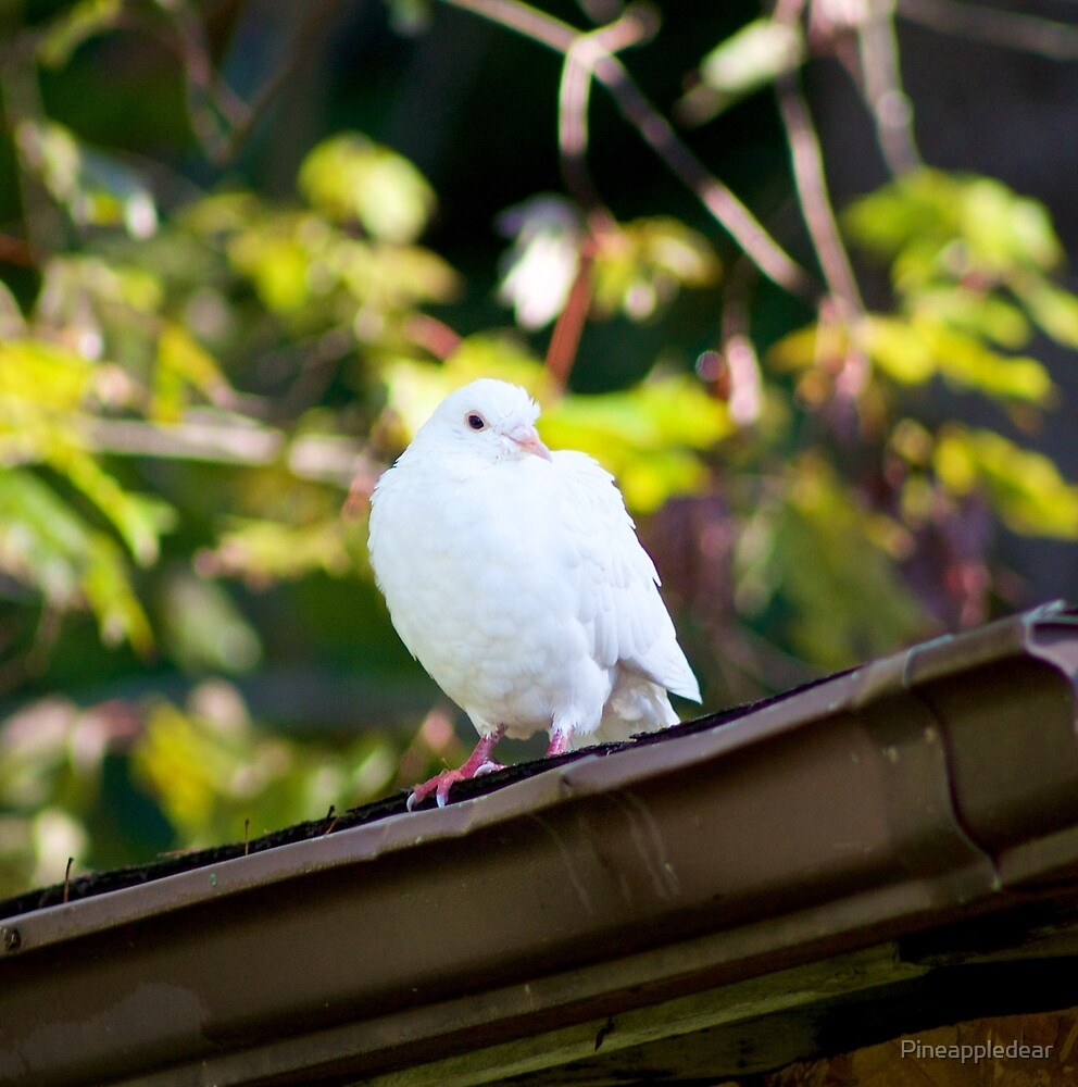 Dove Photograph by Pineappledear