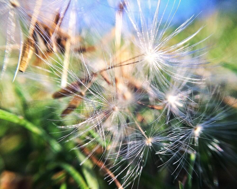 Dandelions  by Jaicamak