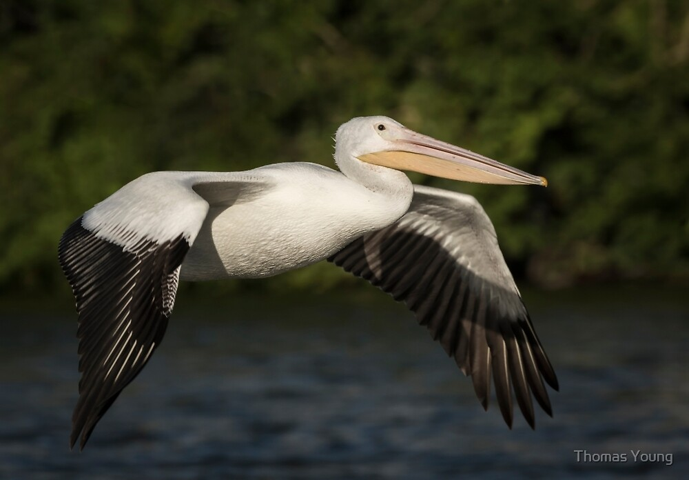 Young Pelican 2016-1 by Thomas Young
