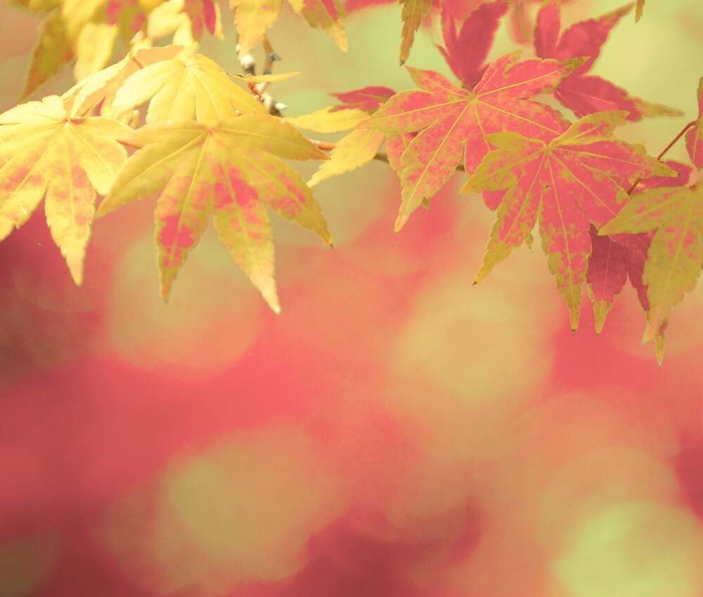 Warm Soft Red Golden Yellow Autumn Maple Leaves by KateLCardsNMore