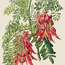 Clianthus Puniceus by madewithslnsw