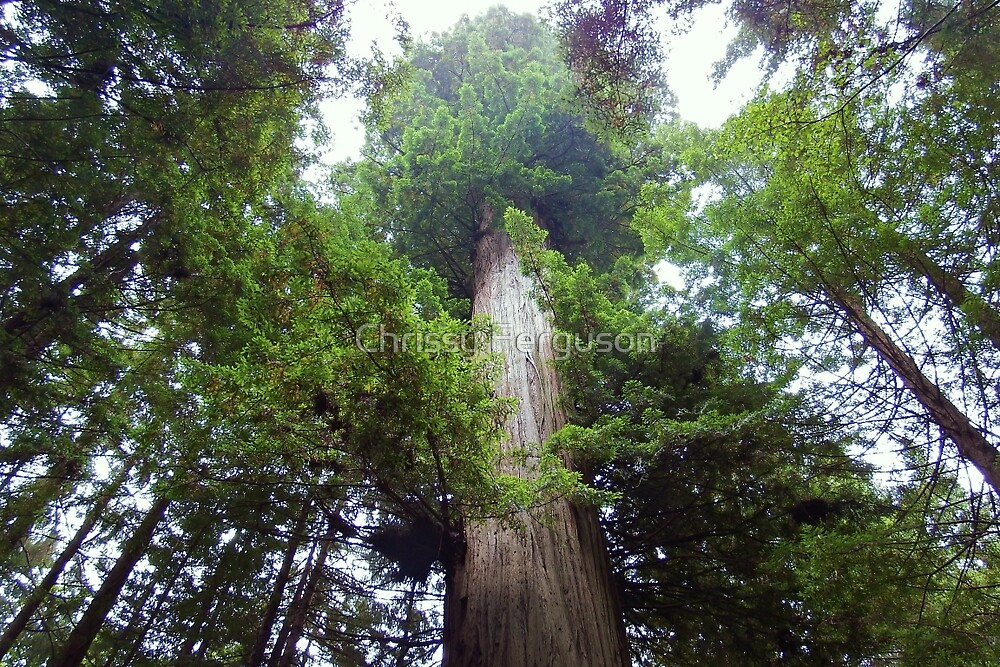 Giant Redwood Tree by Chrissy Ferguson