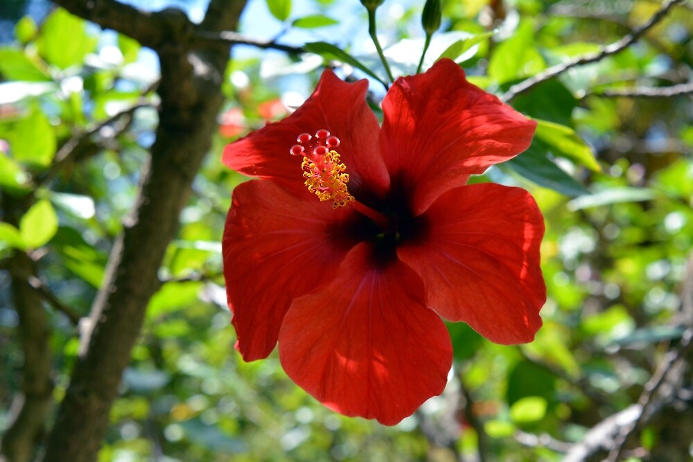 Red hibiscus flower and green leaves background by oanaunciuleanu