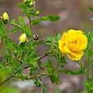 Yellow Rose by samsheff