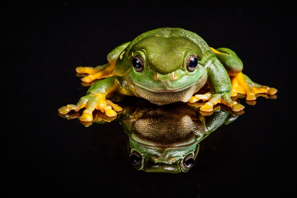 Green Tree Frog by Russell Charters