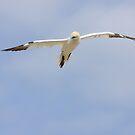 Floating, A gannet flies overhead by Andrew Jones